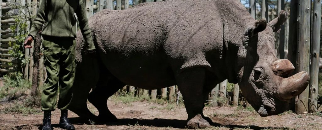 The Last Male Northern White Rhino in The World Has Died