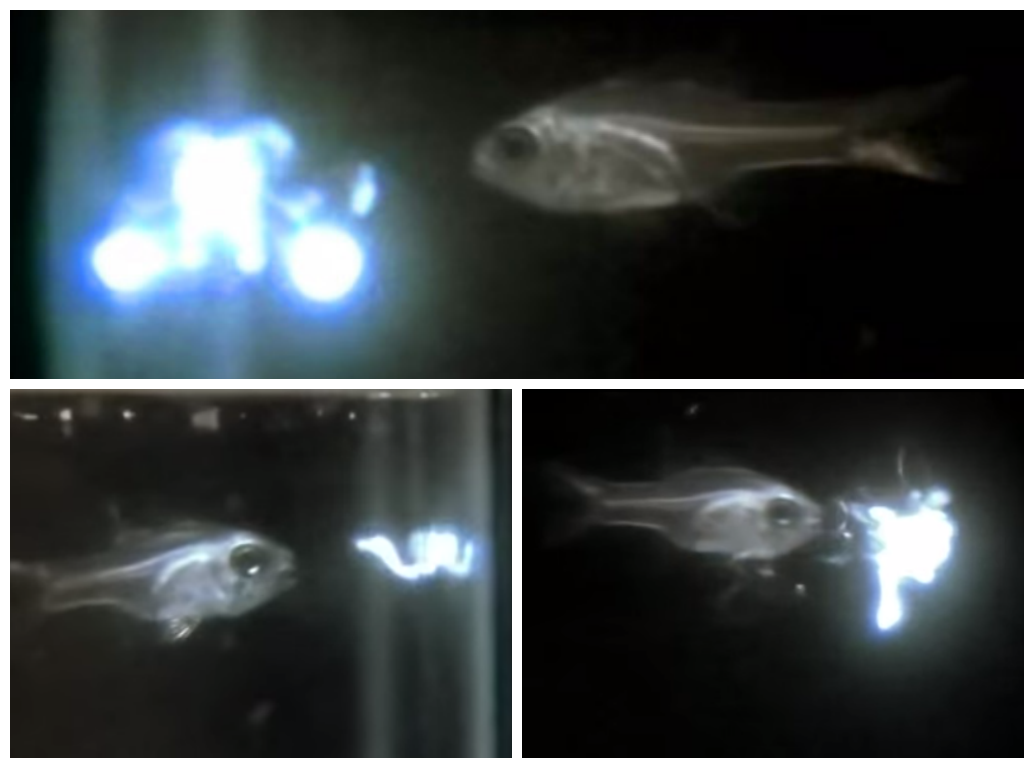 WATCH: Tiny crustaceans foil fish with fireworks